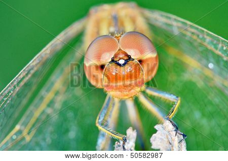 Dragonfly (Crocothemis erythraea) shoot in forest
