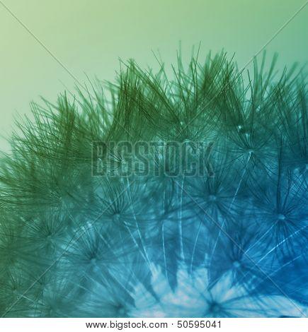 Multicolored Dandelion Seeds