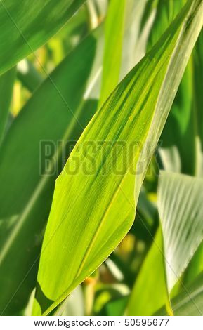 Maize Leaves