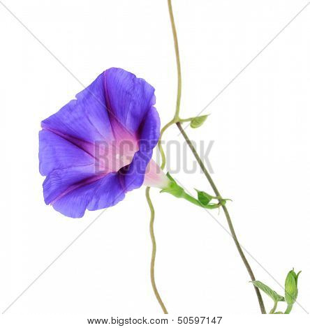 Blue convolvulus (bindweed) flower, isolated on white