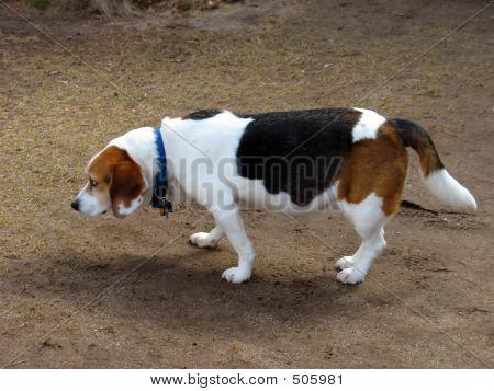 Beagle impertinente