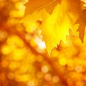 Abstract autumnal background, soft focus, dry golden maple tree leaf border, beautiful foliage, fall