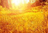 stock photo of dry grass  - Dry golden grass in autumnal park - JPG