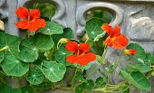 picture of nasturtium  - orange nasturtium flowers  closeup droplet natural holiday