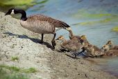 stock photo of baby goose  - Wild Goose with Babys getting out of the water in nature
