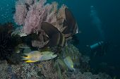 stock photo of raja  - Juvenile Golden Spadefish  - JPG