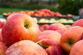 stock photo of crate  - Crates of freshly harvested apples in crates - JPG