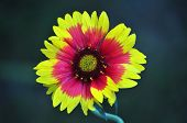 foto of torchlight  - closeup of a blooming torchlight blanket flower - JPG