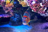 stock photo of under sea  - Exotic colorful fish among rocks with corals on the bottom in famous aquarium of Monaco - JPG