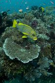 image of raja  - Ribbon Sweetlips  - JPG