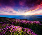 stock photo of night-blooming  - Magic pink rhododendron flowers under the dark blue sky - JPG