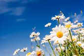 stock photo of chamomile  - Summer field with white daisies on blue sky - JPG