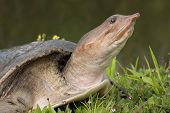 pic of carapace  - Florida Softshell Turtle warming in the sun - JPG