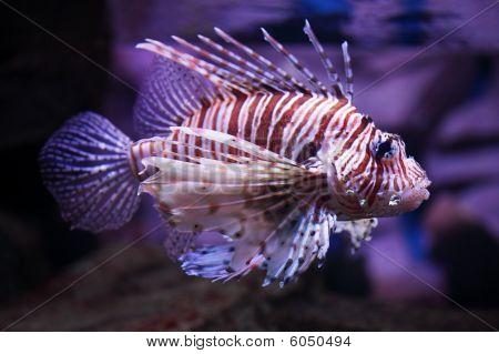 Pterois Volitans, Tropical Fish