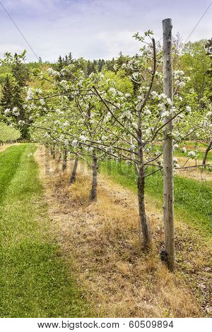 Young blooming trees in an apple orchard staked and trained on wires.