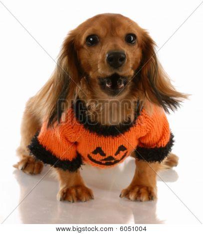 Dachshund Wearing Pumpkin Sweater