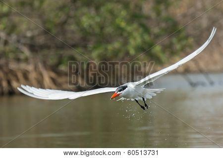 Caspian Tern Dripping Water Through The Mangroves