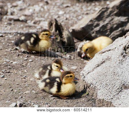 Group Of Cute Yellow Ducks