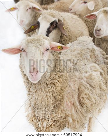 Sheep Illness