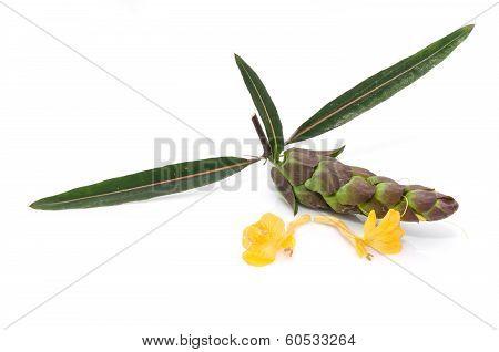 Barleria Lupulina Lindl Flower Isolate On White Background.