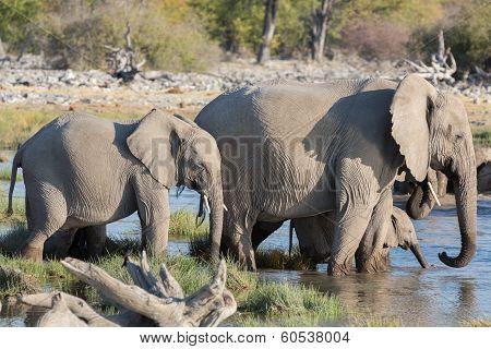 Elephants in Etosha