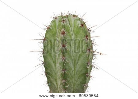 Thorny cactus plant isolated on white background