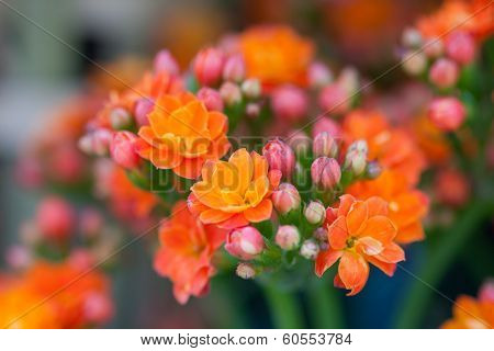 Lantana flowers, Multi-colored Lantana flowers with buds and leaves