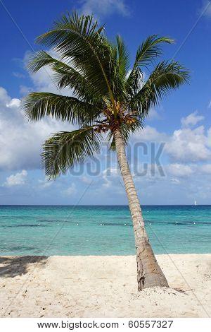 Coconut Tree On Caribbean Beach, Dominican Republic