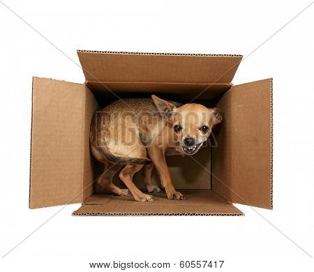 a tiny chihuahua in a box for the mail