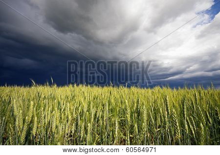 Wheat At Storm