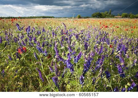 Delphinium And Poppy In The Meadow