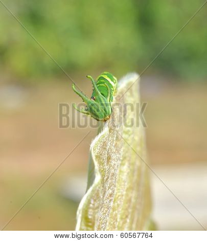 Dragon Headed Caterpillar