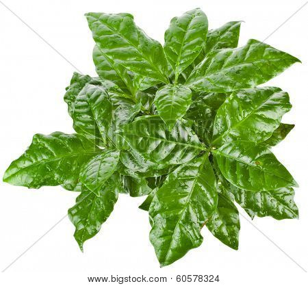 Green Leaves.Coffee Arabica Plant Top View isolated  on white background