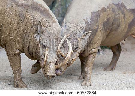 Babirusa Wild Boar Pair Snuggling