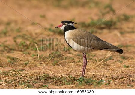 Black-headed Plover In Profile