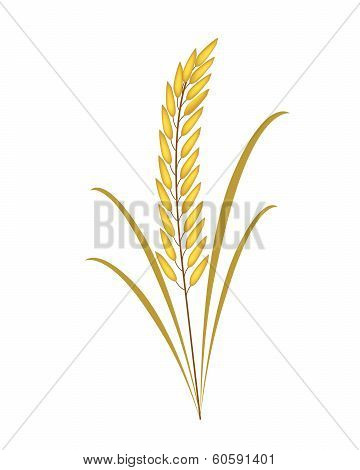 Golden Rice Or Jasmine Rice On White Background
