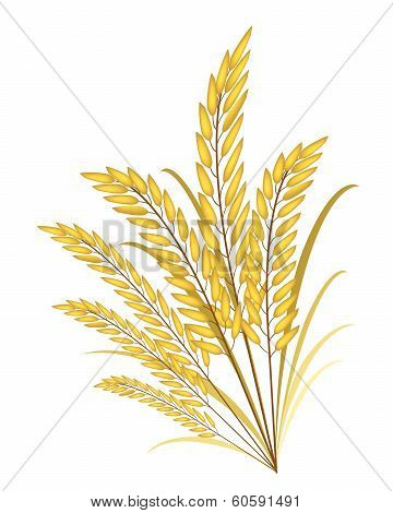 Golden Colors Of Jasmine Rice On White Background