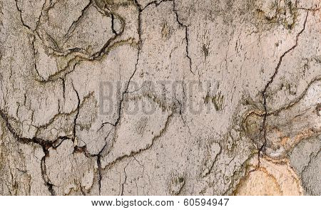 Textured Background Of Tree Bark Sycamore