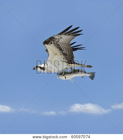Flying Osprey Carrying A Fish In It's Talons