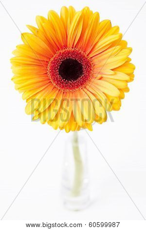 Gerbera in glass vase on white