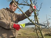 stock photo of prunes  - Young gardener pruning apple tree branches with pruning saw - JPG