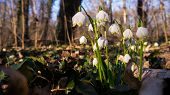 pic of lent  - Lent Lilies growing in a park in Germany - JPG