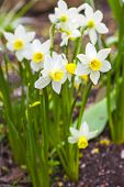 picture of narcissi  - Dwarf narcissi   - JPG