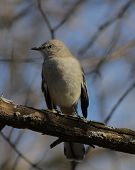 picture of mockingbird  - A Northern Mockingbird perched on a branch - JPG
