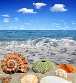 foto of conch  - Conch shells on beach - JPG