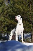 foto of harlequin  - Harlequin great dane in the winter forest - JPG
