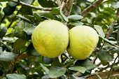 picture of pomelo  - Pomelo fruits on tree  - JPG