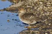 stock photo of pintail  - Northern Pintail - Anas acuta