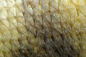 stock photo of undine  - A high detail shot of carp fish scales - JPG