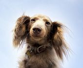 stock photo of wieners  -  miniature long haired dachshund with blue sky  - JPG